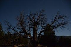 Månen kommer med liv till ett gammalt träd Royaltyfri Fotografi