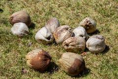 Många kokosnötter Arkivfoton