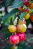 Många körsbärsröd plommon på trädet Royaltyfria Bilder