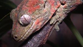 Mniarogekko chahoua som gemensamt är bekant som den mossiga nya Caledonian geckon, kort-snouted ny Caledonian gecko, gecko för jä stock video
