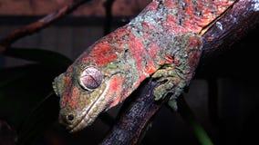 Mniarogekko chahoua som gemensamt är bekant som den mossiga nya Caledonian geckon, kort-snouted ny Caledonian gecko, gecko för jä lager videofilmer