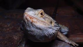 Mniarogekkochahoua algemeen als de bemoste Nieuw-Caledonische gekko, kort-gewroete Nieuw-Caledonische gekko, de reuzegekko die va stock videobeelden