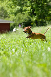 Mniature Dachshund chase royalty free stock photos