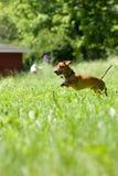mniature del dachshund di inseguimento Fotografie Stock Libere da Diritti