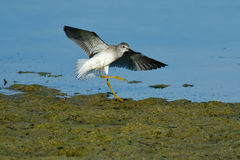 mniej yellowlegs Obrazy Royalty Free