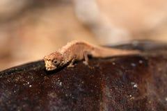 Mínimos minúsculos de Brookesia do camaleão, mícrons, Madagáscar Imagens de Stock