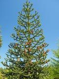 Mnkey puzzle tree Araucaria araucana Stock Photography