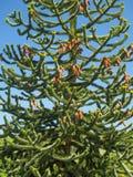 Mnkey puzzle tree Araucaria araucana Royalty Free Stock Images