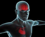 Människokropp med hjärta- och hjärnröntgenstrålen Arkivbilder