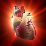 Verklig hjärta som Shinning i ljust - människaanatomi modellerar Arkivfoton