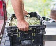 Männliche Hände, die einen Kasten voll von den reifen Oliven halten Stockfotografie