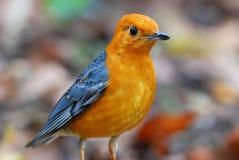Männliche orange vorangegangene Drossel Lizenzfreies Stockfoto