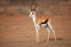 Männliche Springbockantilope Lizenzfreies Stockfoto
