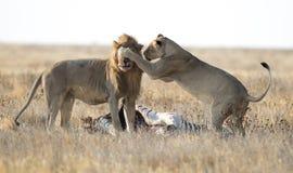 Männliche und weibliche Löwen Lizenzfreies Stockbild