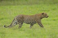 Männlicher afrikanischer Leopard, der in Südafrika sich anpirscht Lizenzfreies Stockbild