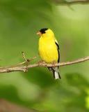 Männlicher amerikanischer Goldfinch Lizenzfreies Stockbild