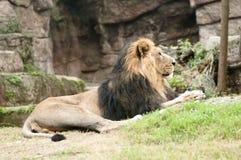 Männlicher asiatischer Löwe (Pantheralöwe persica) Lizenzfreies Stockfoto