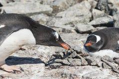 Männlicher Gentoo-Pinguin, der den Stein zum Nest in dem holte Lizenzfreies Stockfoto