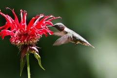 Männlicher Kolibri, der auf eine Blume einzieht Lizenzfreies Stockfoto