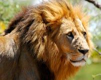 Männlicher Löwe Stockfoto