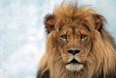 Männlicher Löwe Stockfotos