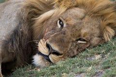 Männlicher Löwe, der nach einer großen Mahlzeit stillsteht Stockfoto