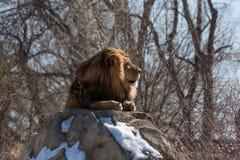 Männlicher Löwe im Profil, stehend auf Felsen still Stockfotos