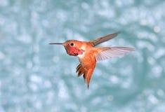 Männlicher Rufous Kolibri im Flug, grüner Hintergrund Lizenzfreie Stockfotografie