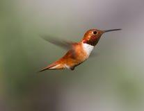 Männlicher Rufus-Kolibri Lizenzfreie Stockfotos