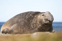 Männlicher See-Elefant (Mirounga leonina) Stockbild