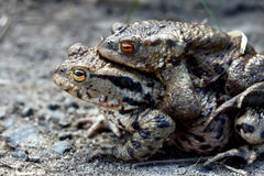 Männlicher und weiblicher Frosch-Anschluss Lizenzfreie Stockbilder