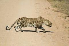 Männliches afrikanisches Leopardanpirschen Lizenzfreie Stockfotos