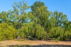Mnożyć wielkiego drzewa w parku Zdjęcia Royalty Free