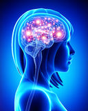 Mänsklig aktiv hjärna Fotografering för Bildbyråer