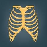 Mänsklig bröstkorg Royaltyfria Bilder
