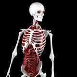 Mänsklig manlig anatomi Skelett- och inre organ illustration 3d Royaltyfri Fotografi