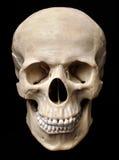 mänsklig model skalle Arkivbild
