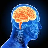 Mänskliga manliga Brain Scan Arkivfoton