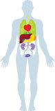 mänskliga organ Arkivbild