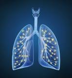 Mänskligt lungor och luftrör och syre i röntgenstrålesikt Arkivfoton