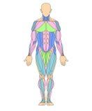 mänskligt muskulöst system Arkivbilder