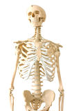 mänskligt skelett Royaltyfri Fotografi