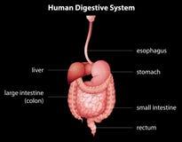 mänskligt system för digestivkex Arkivbilder