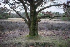 Możny dębowy drzewo z ostatniego roku suchym ulistnieniem przeciw tłu łąki i lasy, na chmurnym wiosna dniu obrazy royalty free