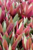 Moïse dans un berceau Rhoeo décolorent la rosette avec les feuilles bicolores image libre de droits