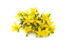 Moût du ` s de St John, fleur jaune de buisson tutsan, usine médicinale de fines herbes de perforatum de Hypericum, d'isolement s images libres de droits