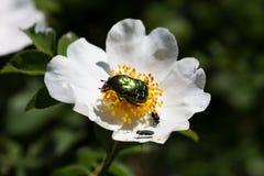 Może ściga wygrzewa się w słońcu na kwiacie dziki wzrastał Fotografia Stock