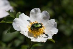 Może ściga wygrzewa się w słońcu na kwiacie dziki wzrastał Zdjęcia Stock