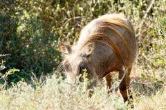 Możesz widzieć mee ty - Phacochoerus africanus pospolity warthog Obraz Royalty Free
