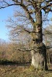 Możny dębowy drzewo blisko Landersdorf w Bavaria w Niemcy obrazy stock